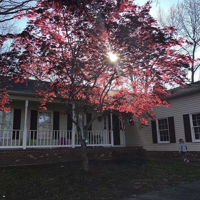 Japanese maple, Fredericksburg VA.
