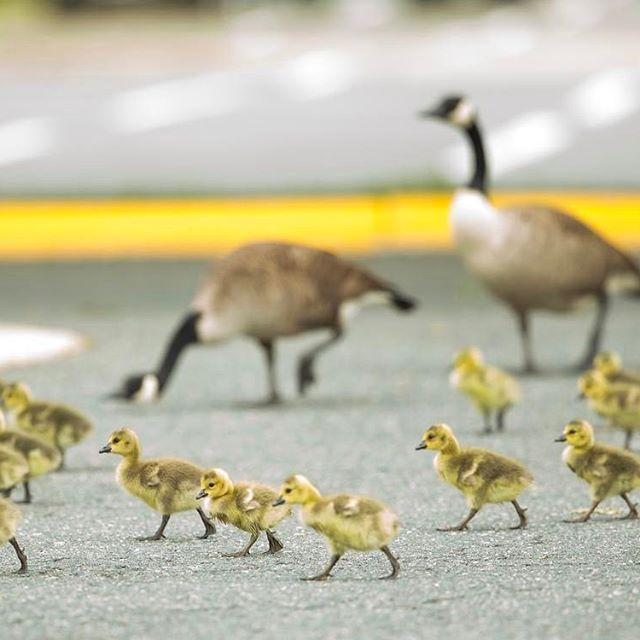 Geese navigate a parking lot in Fredericksburg, Va. on April 26, 2017. (Mike Morones/The Free Lance-Star)