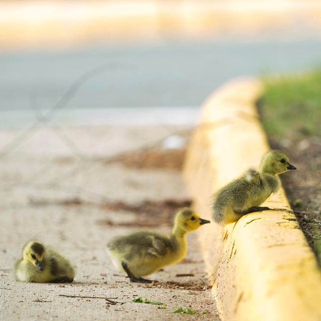 Young geese make their way over a curb in a parking lot in Fredericksburg, Va. on April 26, 2017. ( Mike Morones/The Free Lance-Star)