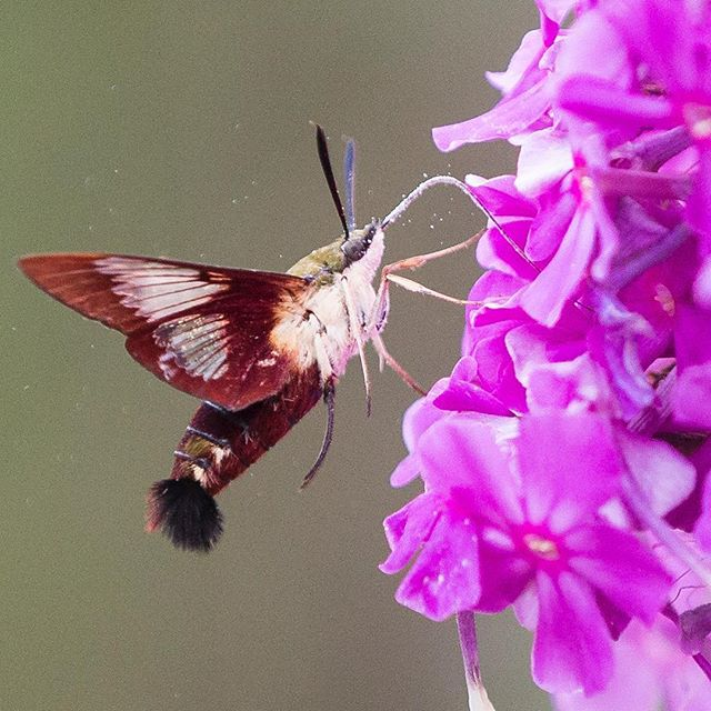 While scouting locations for the eclipse, i came across this hummingbird moth hunting for nectar.